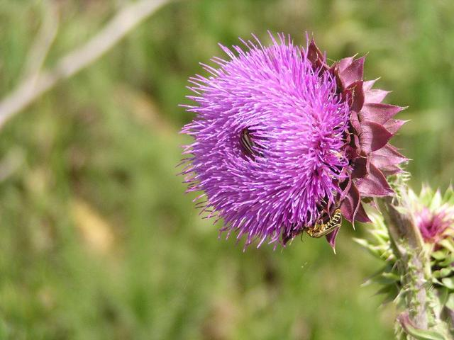 a thistle flower with a bee on it