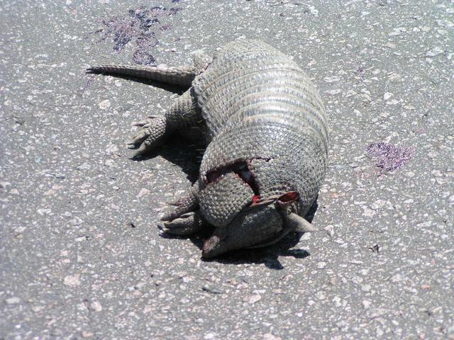 an armadillo killed by a car