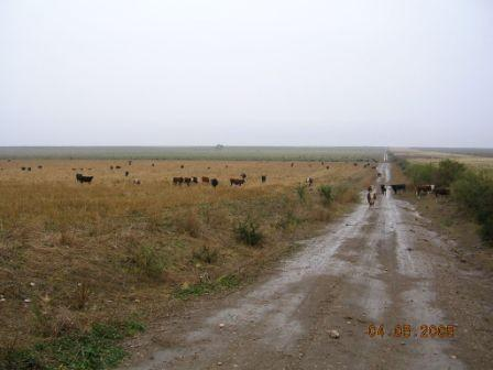 Wet cows on the path
