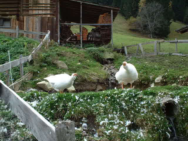 Fortunately, the geese were in their pen