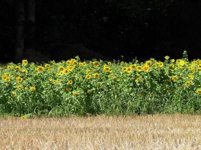 Sonnenblumenfeld/Field of Sunflowers