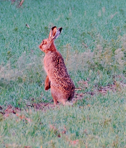 A Hare near the CP