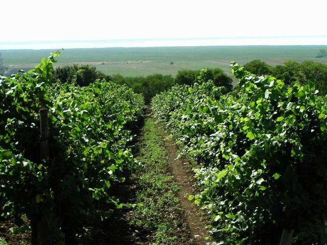 Vineyard at Neusiedlersee / Weinberg am Neusiedlersee