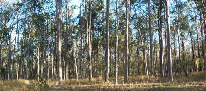 Spotted gum forest, confluence is centre foreground