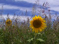 #5: Sunflower