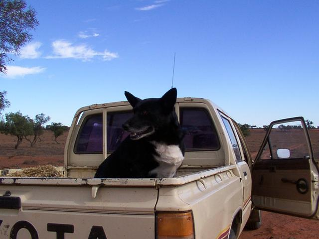 Owner's dog in the back of his ute