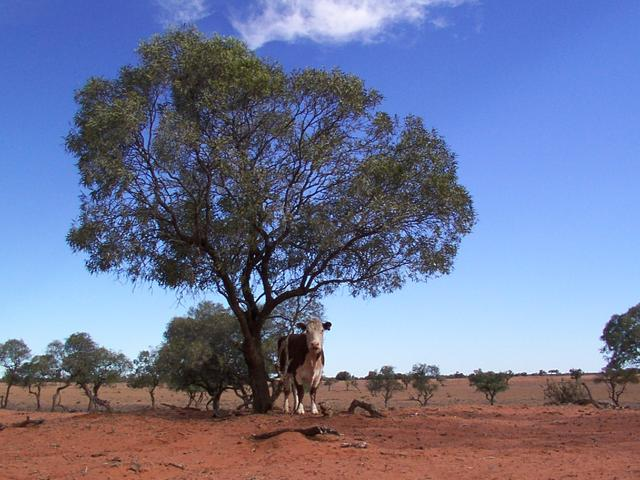 A cow under a tree near the confluence