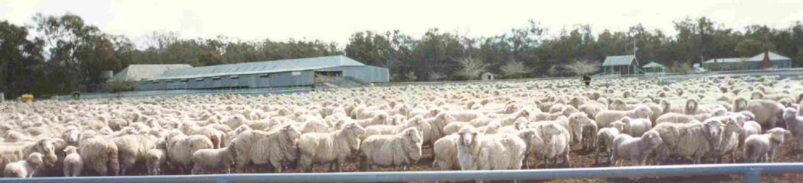 Tupra Station Woolshed during busier times. This is a day's work (2,000 sheep)