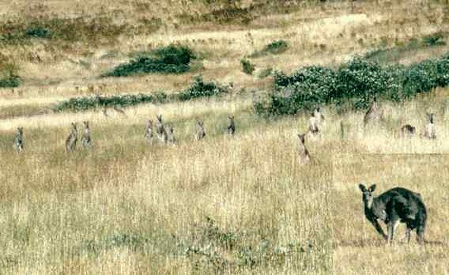 Mob of kangaroos at Seatons Farm