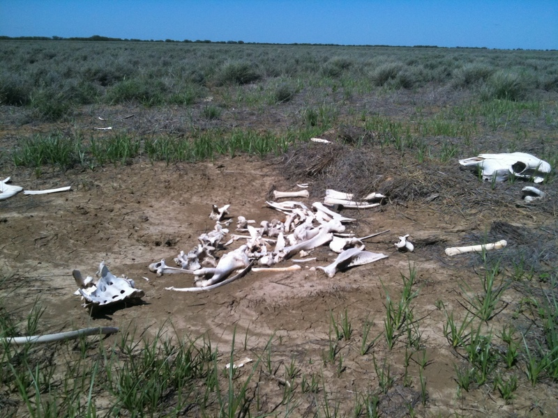Cow skeleton a few meters from the point