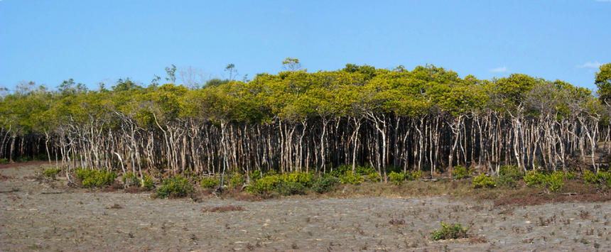 Mangroves at the confluence.
