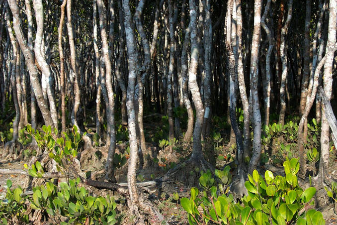 Mangroves up close.
