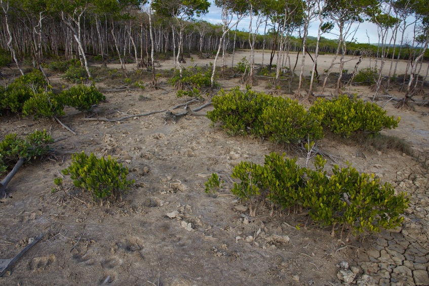 The confluence point lies in this bare patch of ground, just in front of a thick patch of mangroves