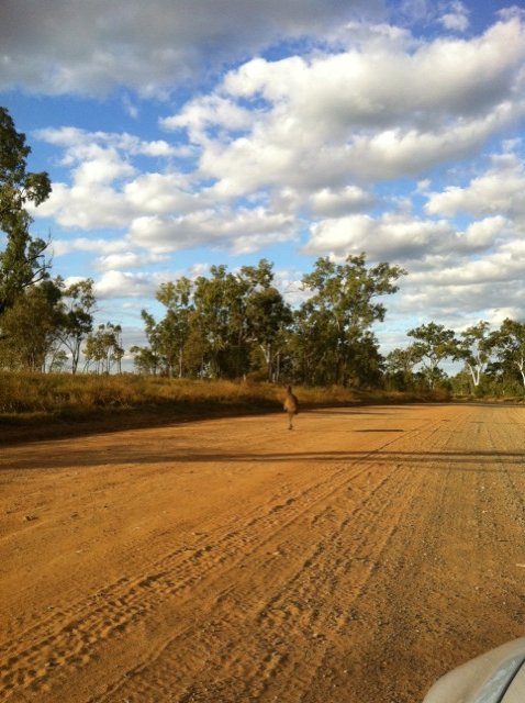 many emu, kangaroo, bush pig on dusty unused roads