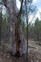 #7: A large gum tree, 15 metres from the confluence point