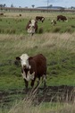 #7: Curious Confluence Cattle!