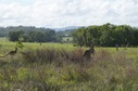 #7: Curious kangaroos retreat as I walk towards the confluence point (which is near the centre of this photo)