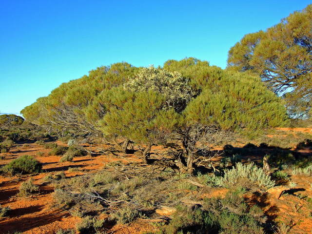 Mistletoe growing in a Mulga Tree