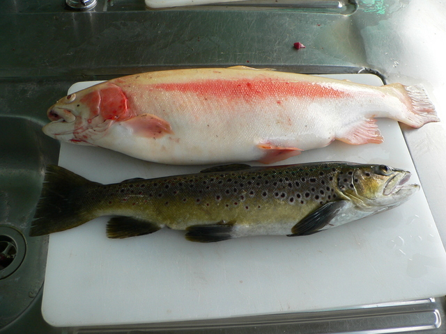 Catch of the day: golden and brown trout.