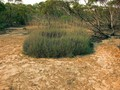 #9: Large Spinifex Ring seen while walking to the Confluence
