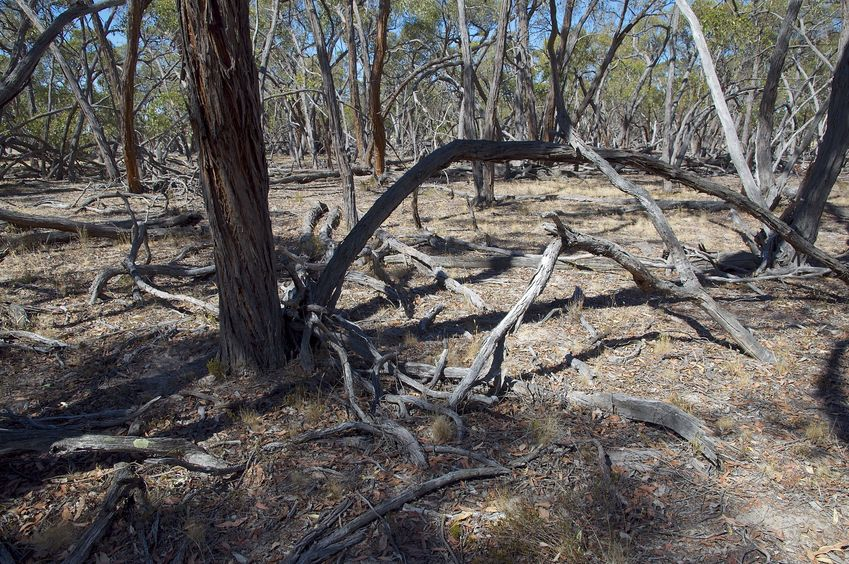 The confluence point lies in a grove of gnarled gum trees, many of which are dead
