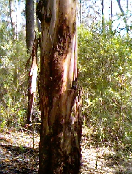 Big gum tree right on the confluence point