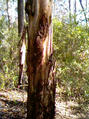 #2: Big gum tree right on the confluence point