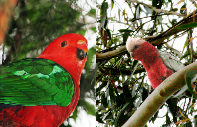 A couple of birds spotted right at the confluence: (left) King Parrot (Alisterus scapularis), and (right) Galah (Cacatua roseicapilla)