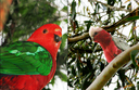 #10:  A couple of birds spotted right at the confluence: (left) King Parrot (Alisterus scapularis), and (right) Galah (Cacatua roseicapilla)