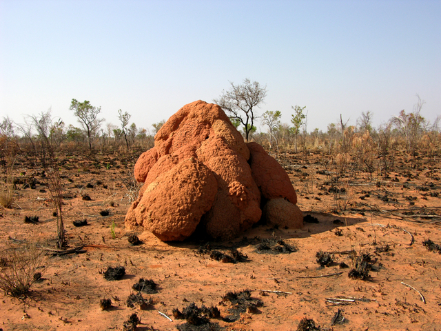 A large anthill, typical of the area