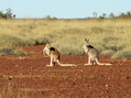 #8: These kangaroos were suddenly distracted by our second vehicle following behind