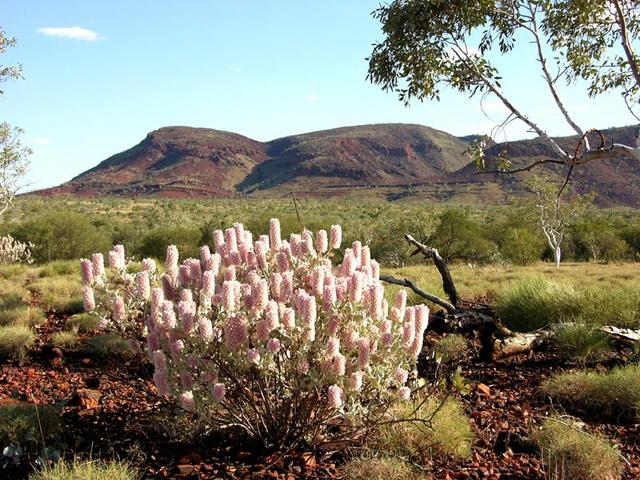 Mulla-mulla, a typical wildflower of the area with Mt Robinson in the distance.