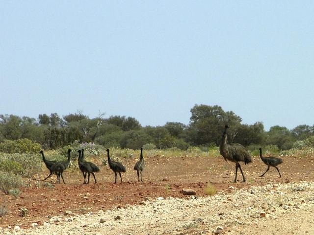 A family of emus on the way to Mt Clere station