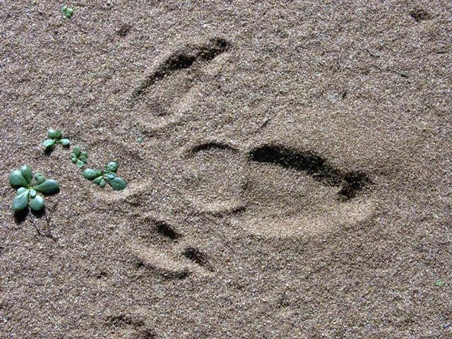 Emu footprint