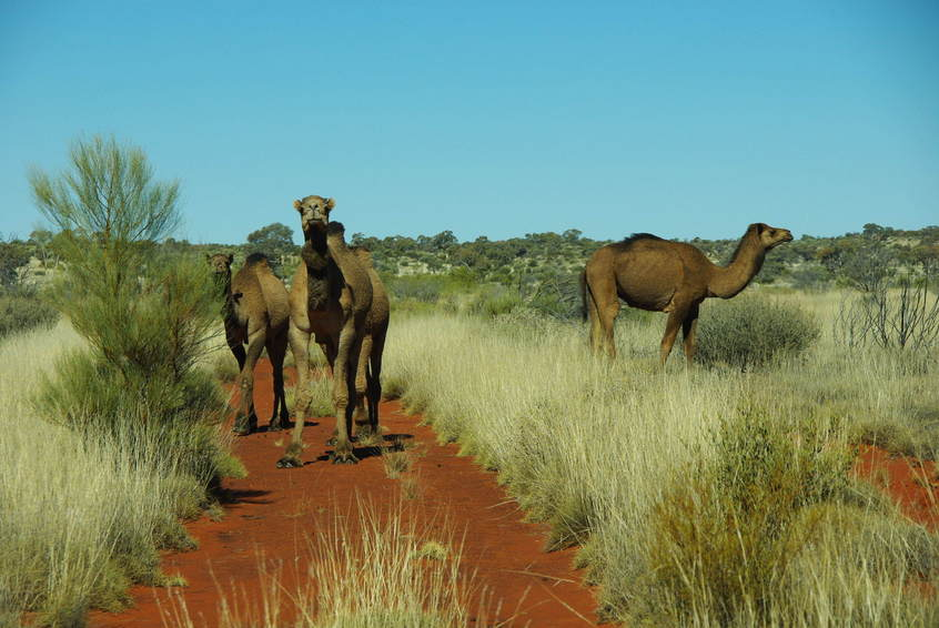 Camel on the track out to Sydney Yeo Range
