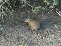 #9: Native animal to Australia - a bandicoot - about 200 meters northeast of the confluence point.