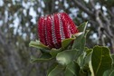 "#7: A Scarlet Banksia (""Banksia coccinea"") - endemic to this area - seen while hiking to the confluence point"