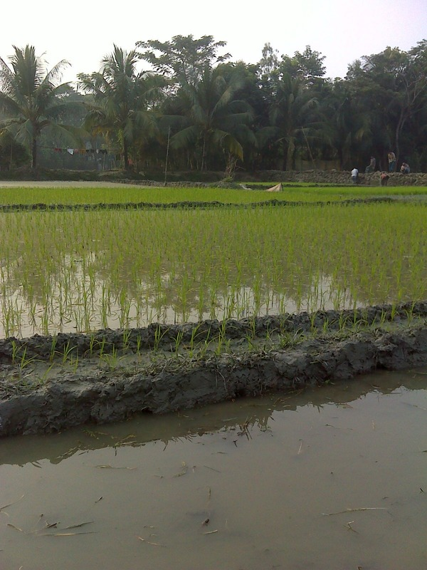 Flooded paddy field view