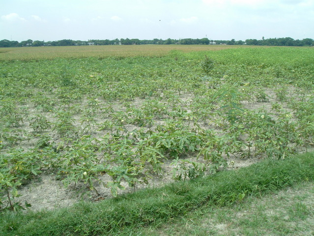 The confluence site: a plot of okra
