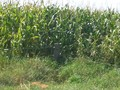 #6: The CP is 14 m further in the corn