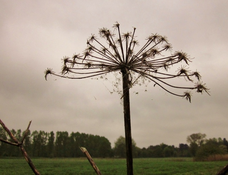 Dried stem of a giant hogweed