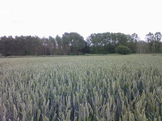 #1: Wheat field near the confluence