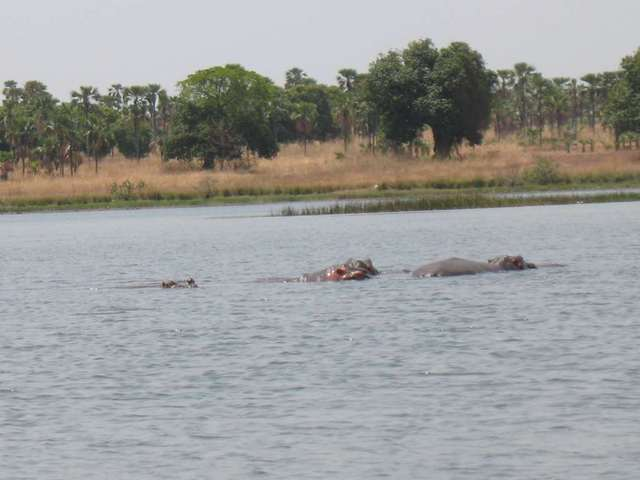 Hippos at Lake Tengréla