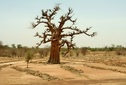 #9: Tilling work around a baobab to improve the soil