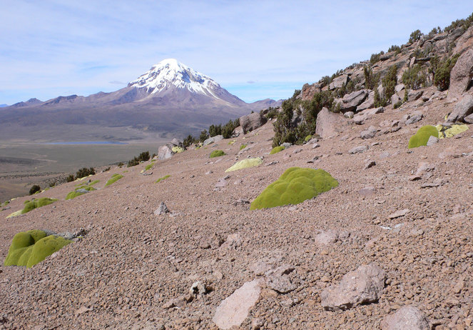 Strange oozing llareta and queñua, tree of world´s highest forest (Mt. Sajama in back)