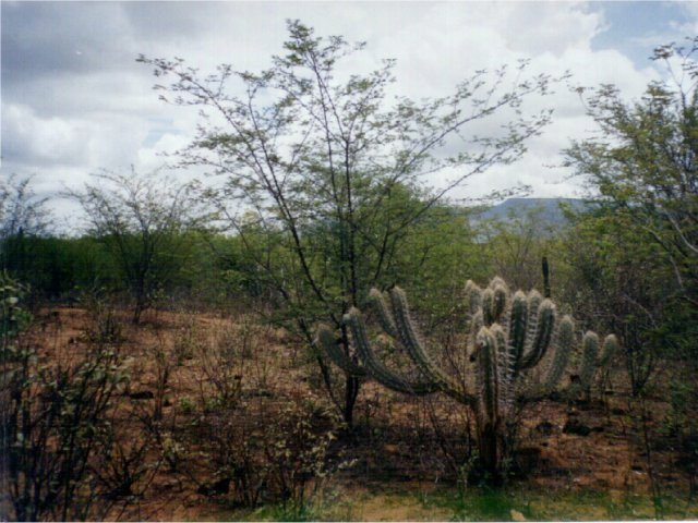 Caatinga vegetation at the confluence