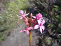 #10: Orchid growing on the rock at 802 m ; flower less tham 1cm large