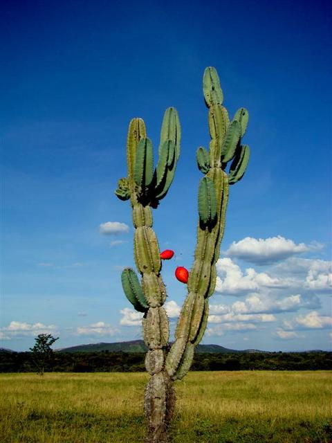 Mandacaru - cactus - in the CP area