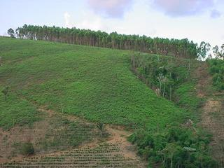 #1: # 1 - Alto Rio Novo - Place of the Confluence - Reforestation of Eucalipto