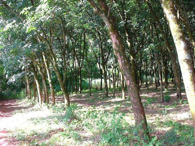Looking north, into the rubber plantation